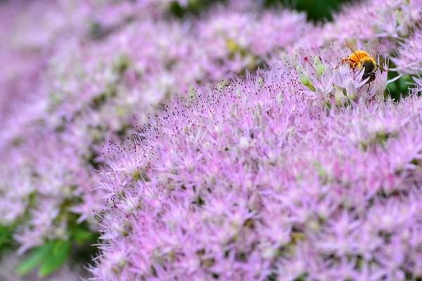 Photograph - Busy Bee by Kathy McCabe