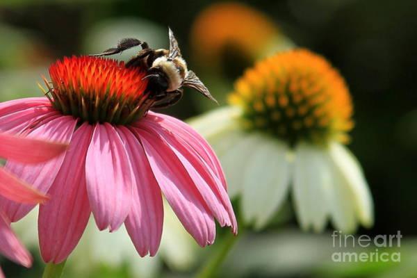 Callaway Gardens Wall Art - Photograph - Busy Bee Flower Art by Reid Callaway