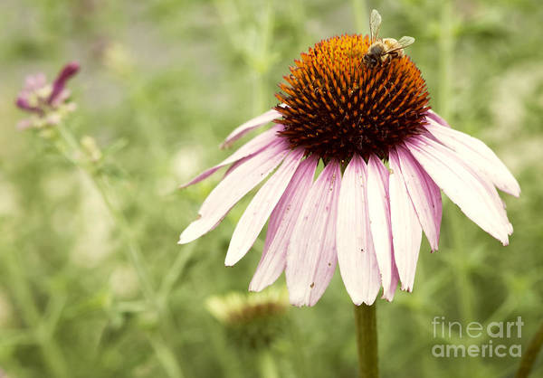 Asteraceae Wall Art - Photograph - Busy Little Bee by Juli Scalzi