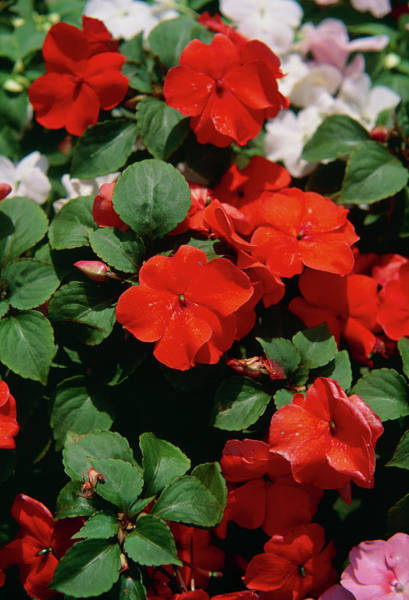 Accent Photograph - Busy Lizzie (impatiens 'accent Mixed') by Ron Bonser/science Photo Library