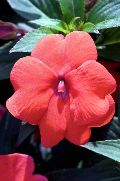 New Leaf Photograph - Busy Lizzie (impatiens 'divine Orange') by Dan Sams/science Photo Library