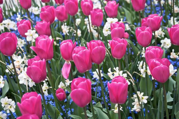 Photograph - Butchart Tulips by Steven Lapkin