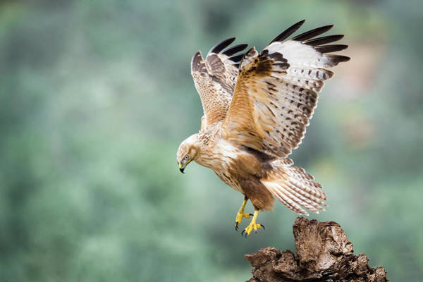 Flying Bird Photograph - Buteo Rufinus by E.amer