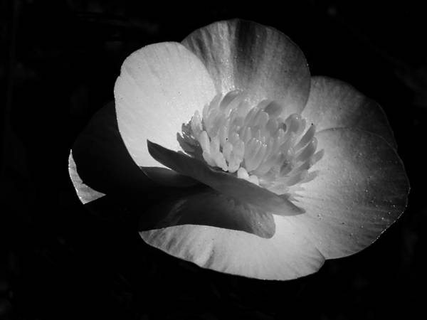 Photograph - Buttercup 2014 by Beth Akerman