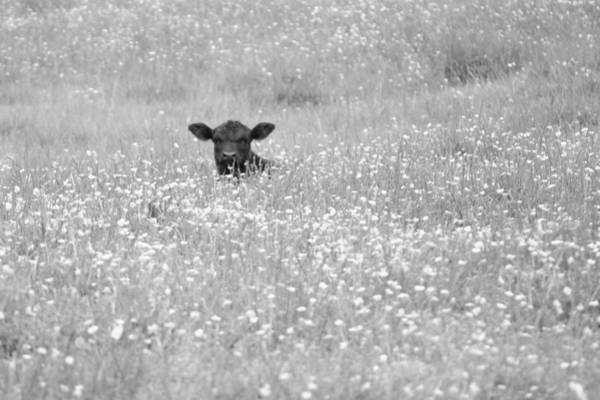 Buttercup In Black-and-white Art Print