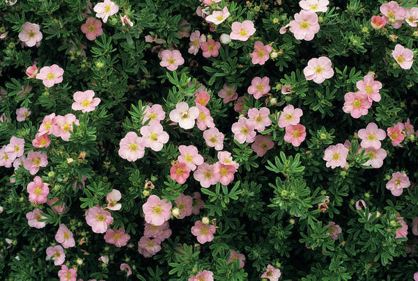Cinquefoil Photograph - Buttercup Shrub Flowers by Jim D Saul/science Photo Library
