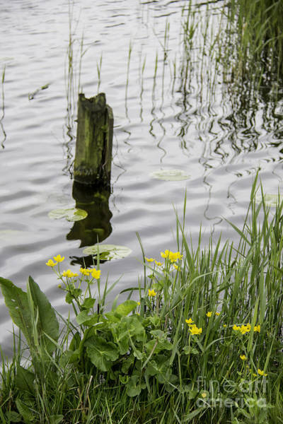Noord Holland Wall Art - Photograph - Buttercups Kinderdijk Holland by Teresa Mucha