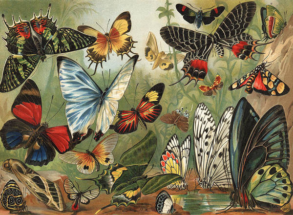 Lithography Wall Art - Painting - Butterflies 2 by Mutzel
