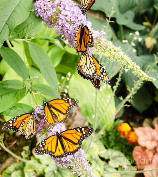 Photograph - Butterflies 8 by Andrea Anderegg