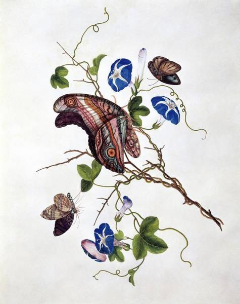 Morning Glory Photograph - Butterflies And Flowers by Natural History Museum, London