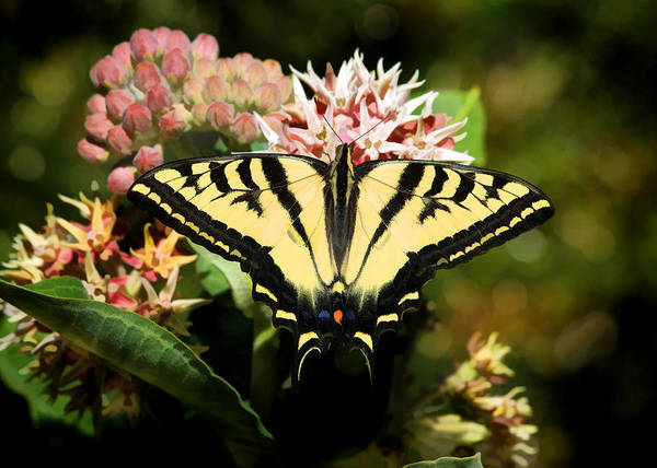 Swallowtail Photograph - Butterflies Are Free by Donna Kennedy