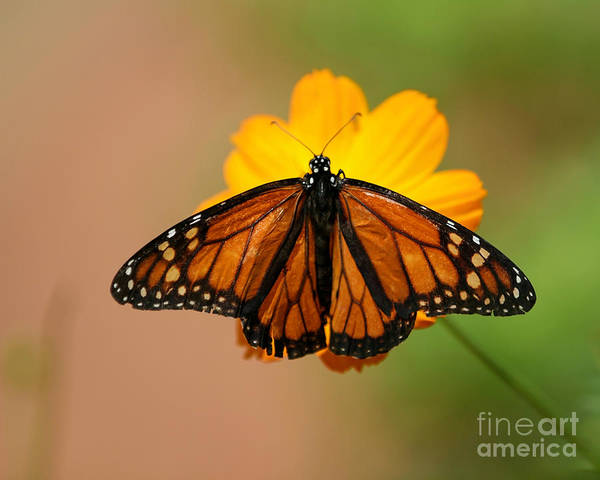 Photograph - Butterflies Are Free by Sabrina L Ryan