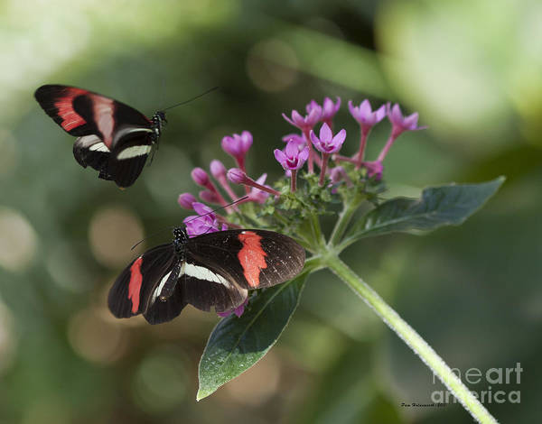 Photograph - Butterflies by Pam  Holdsworth