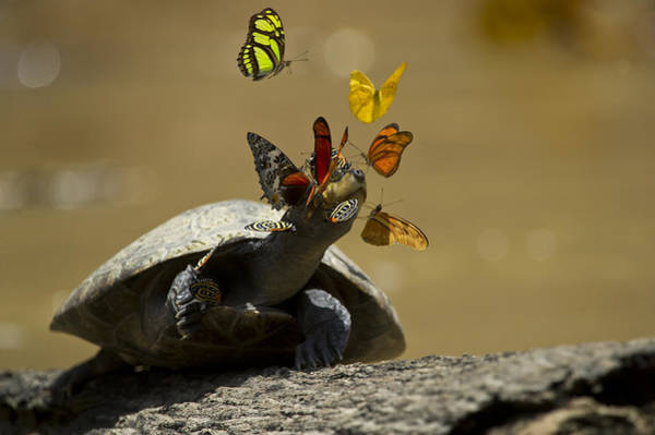 Photograph - Butterflies Sipping Salt From Turtles by Pete  Oxford