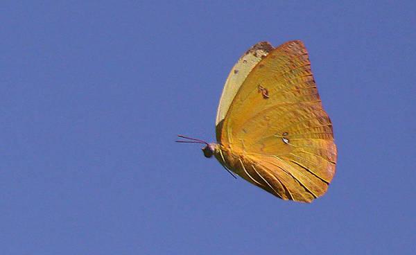 Photograph - Butterflu by Dart and Suze Humeston