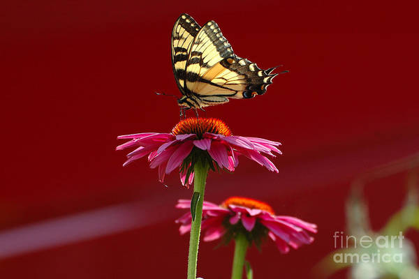 Wall Art - Photograph - Butterfly 3 2013 by Edward Sobuta
