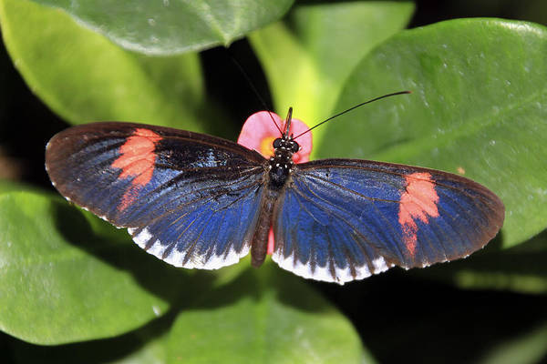 Photograph - Key West Butterfly 3 by Bob Slitzan