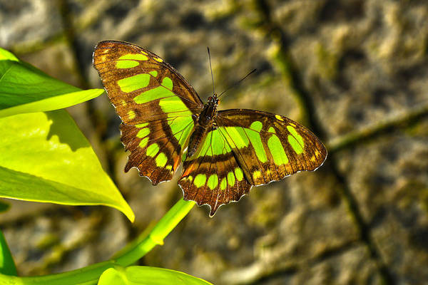 Photograph - Butterfly 3 by Dragan Kudjerski