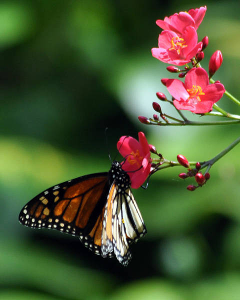Photograph - Butterfly And Blossoms by Dan McManus