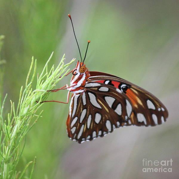 Gulf Fritillary Wall Art - Photograph - Butterfly Beauty Square by Carol Groenen