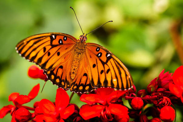 Photograph - Butterfly Beauty by Teri Virbickis