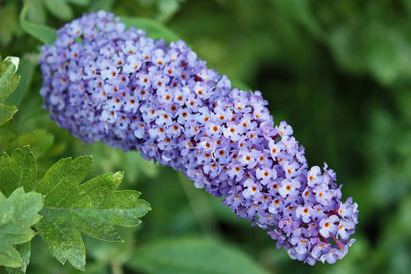 Photograph - Butterfly-bush by Gerry Bates