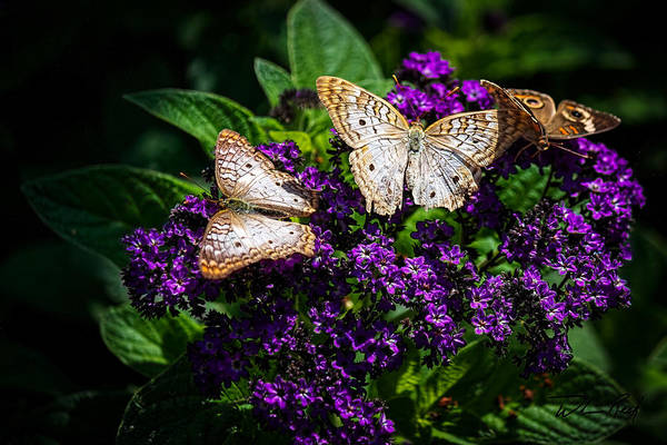 Photograph - Butterfly Bush by William Reek