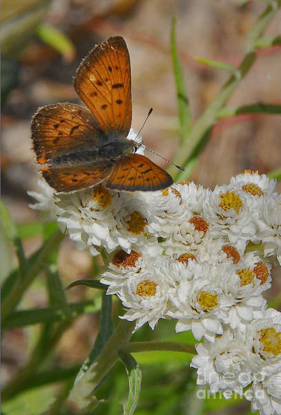 Photograph - Butterfly by Mae Wertz