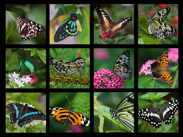 Photograph - Butterfly Collage by Joann Vitali