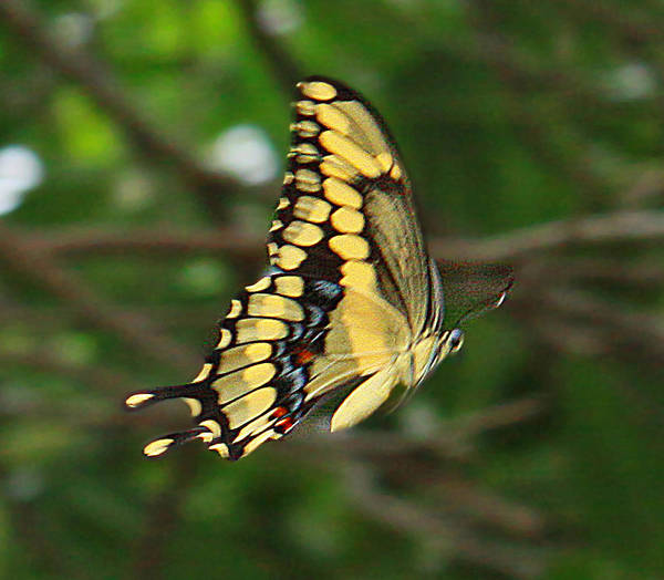 Photograph - Butterfly by Dart and Suze Humeston