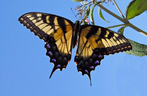 Photograph - Butterfly by David Dehner