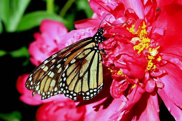 Photograph - Butterfly by David Matthews