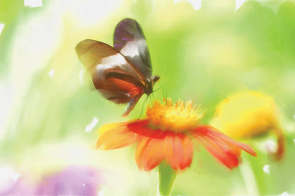 Gerbera Painting - Butterfly Digital Painting by Michelle Constantine