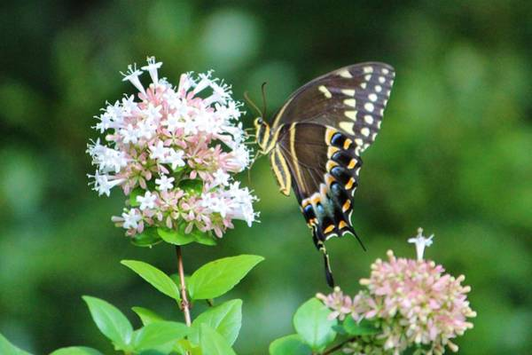 Photograph - Butterfly Dining  by Cynthia Guinn