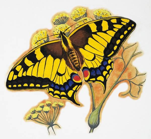 Butterfly Drawing - Butterfly by English School