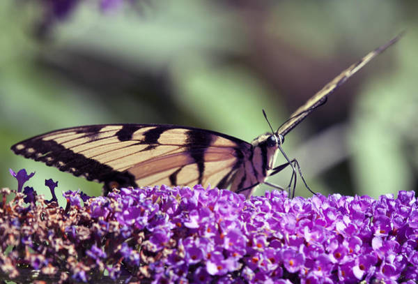 Photograph - Butterfly Feeding by Paul Ross