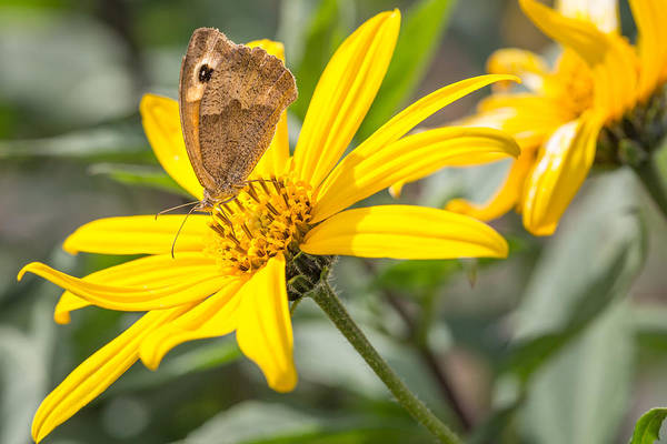 Photograph - Butterfly. by Gary Gillette