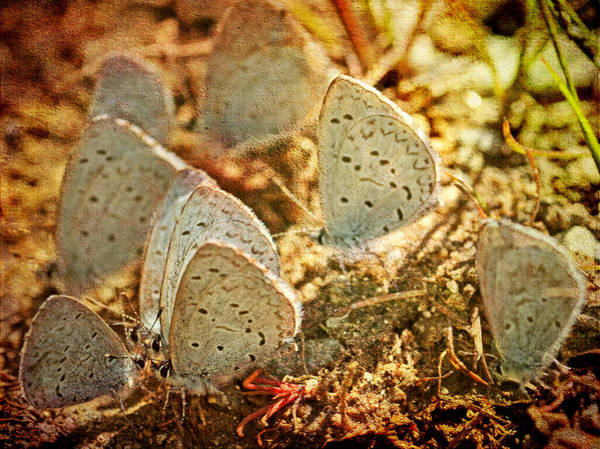 Photograph - Butterfly Gathering by Peggy Collins