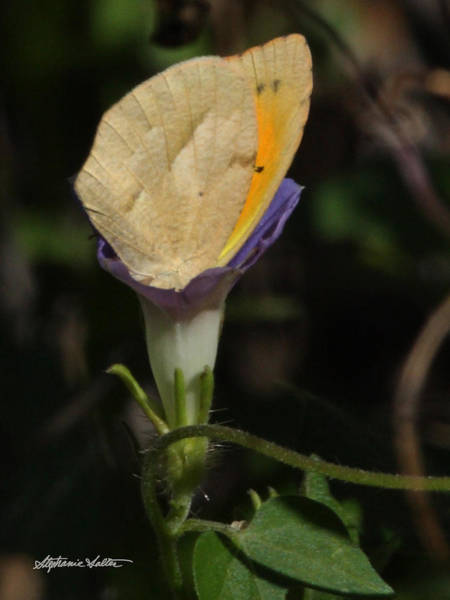 Sulfur Butterfly Wall Art - Photograph - Butterfly In Flower by Stephanie Salter