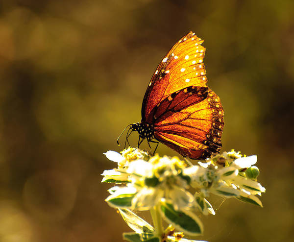 Photograph - Butterfly In Sun by John Johnson