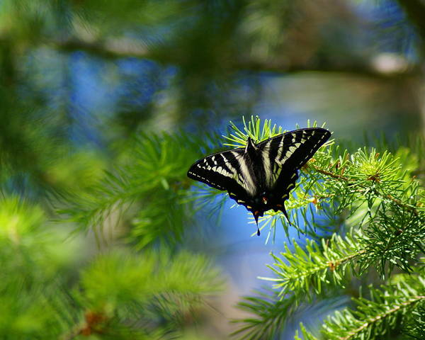 Photograph - Butterfly In The Pines by Ben Upham III