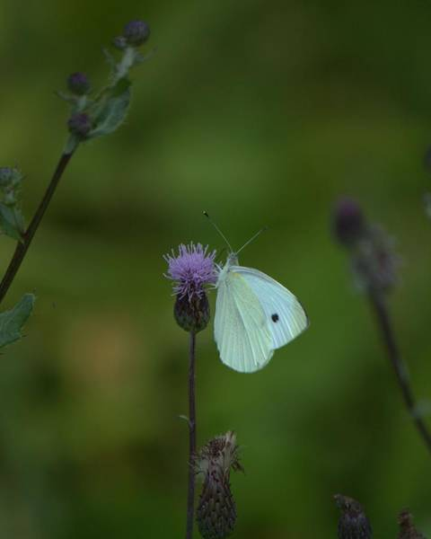 Photograph - Butterfly In White 2 by John Feiser