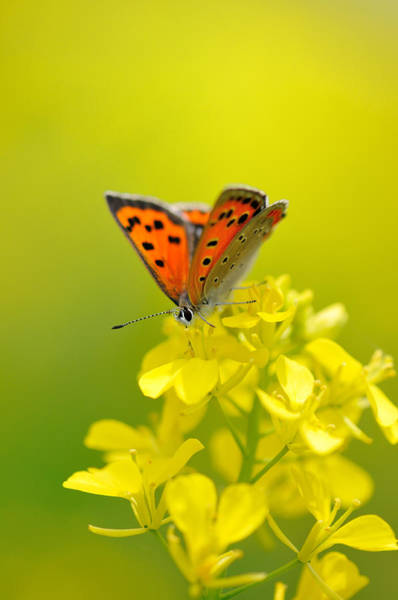 Insect Photograph - Butterfly In Yellow Flowers by Myu-myu