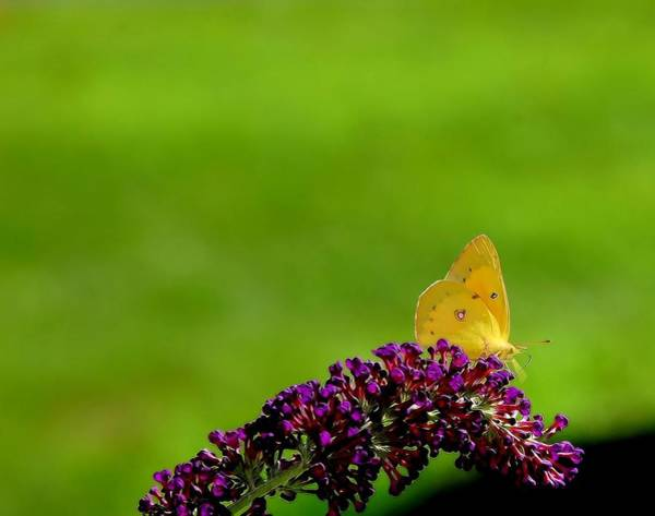 Photograph - Butterfly In Yellow by Kathy McCabe