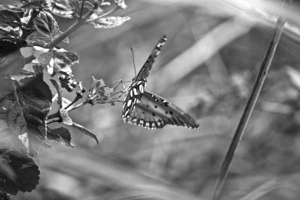 Photograph - Butterfly Ins 94 by G L Sarti