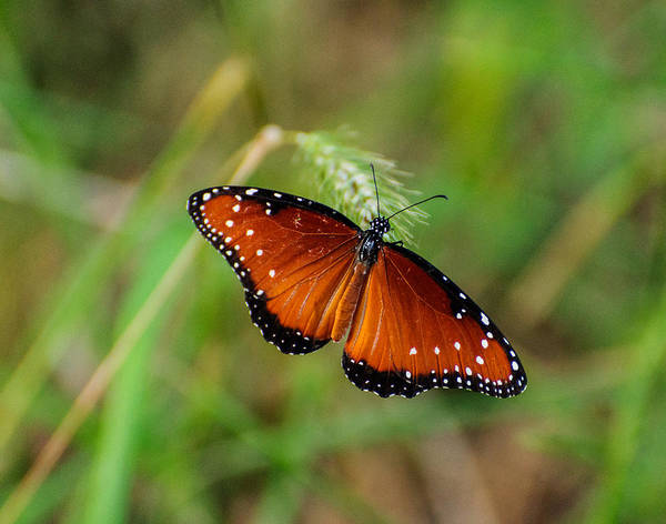 Photograph - Butterfly by John Johnson