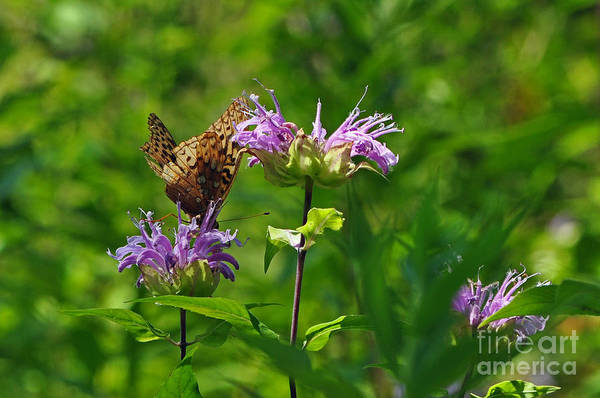 Photograph - Butterfly Landing by Lula Adams