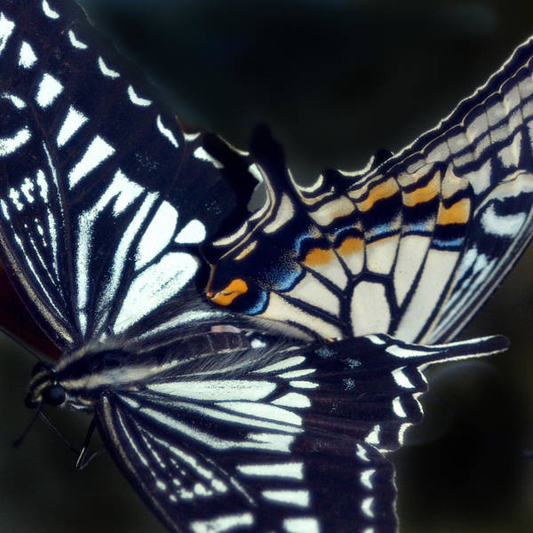 Arica Photograph - Butterfly Love by Arica Brie Sobel