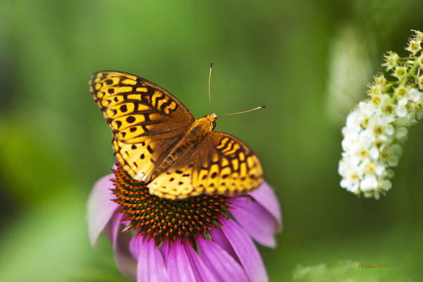 Photograph - Butterfly Love by Christina Rollo