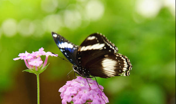 Photograph - Butterfly Loves Pink by Tam Ryan